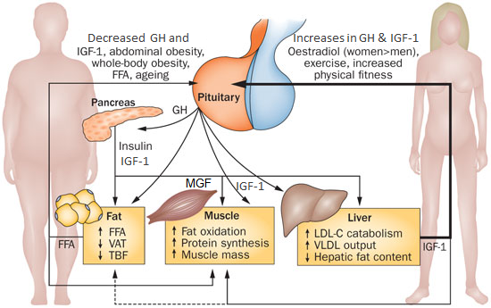 Effects of the interaction between GH, IGF-1, MGF, the lipid metabolism and insulin on adipose tissue, liver and skeletal muscle